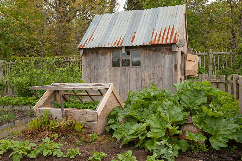 A garden scene with a large wooden shed with a metal roof and a small wooden cold frame with a large rhubarb plant growing beside it and trees in the background.