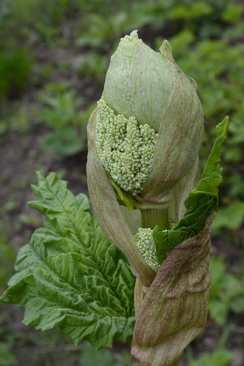 A close up vertical picture of a seed head of a Rheum rhabarbarum plant showing the large bulbous head growing on a tall stalk. The background is a garden scene in soft focus.