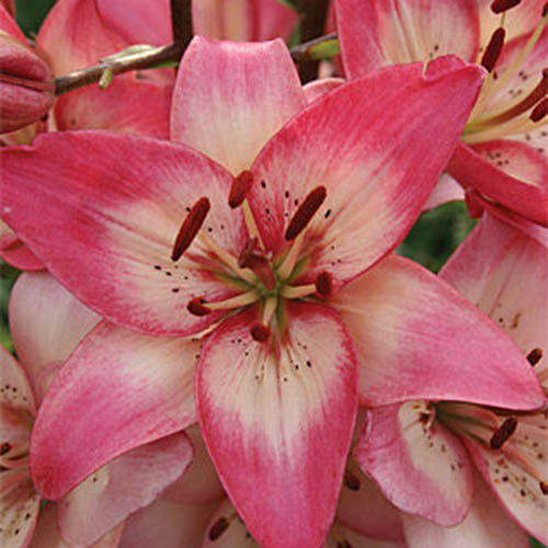 A close up of the delicate pink and white flower of the 'Rosella's Dream' Asiatic hybrid lily.