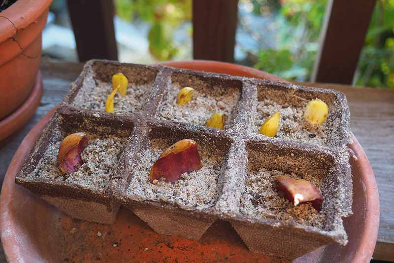 A close up of small peat pots containing potting medium and the scales from the bulb of a lily plant, set on a terra cotta saucer, on a soft focus background.