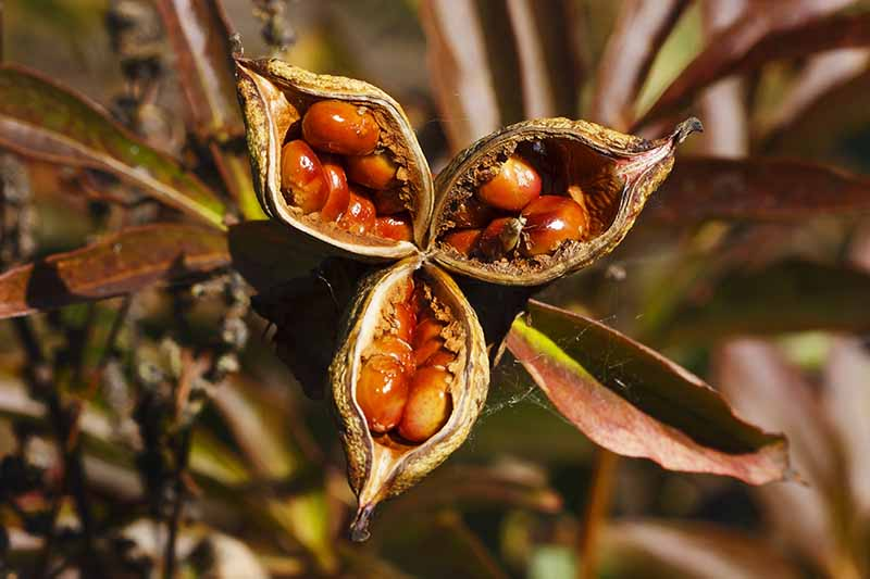 A close up of open seed pods of a lily plant, showing the brown dried casings and the seeds inside, pictured in bright sunshine on a soft focus background.
