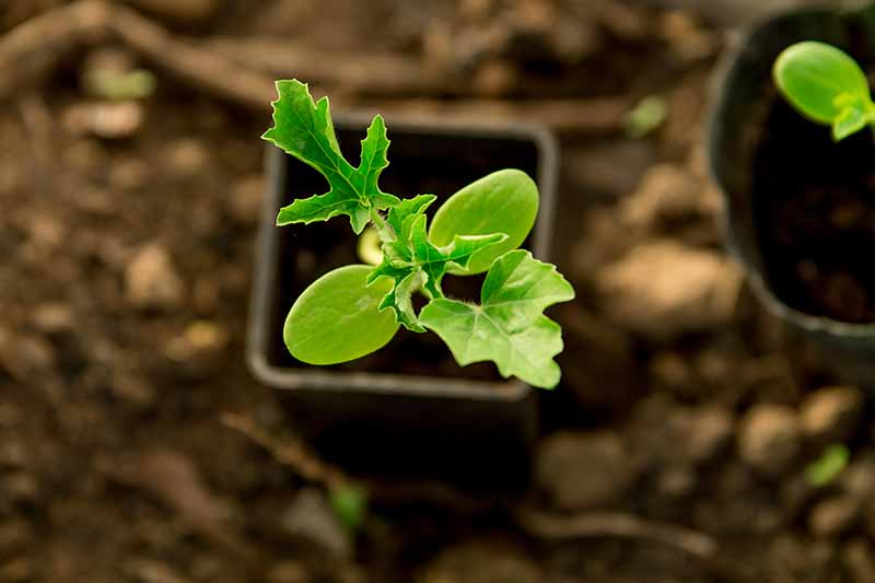 A close up top down picture of a seedling in a small black plastic pot with soil in soft focus in the background.