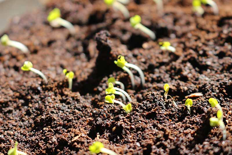 A close up of tiny seedlings just germinating through the rich soil pictured in bright sunshine and fading to soft focus in the background.