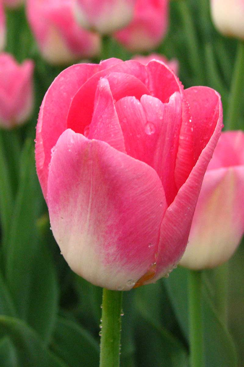 A close up of a 'Single Early' pink tulip flower on a soft focus background.