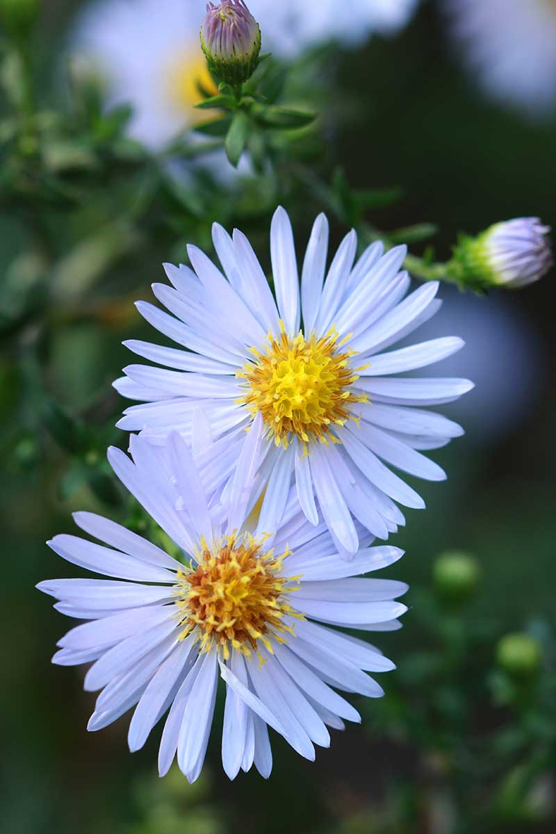 A close up vertical picture of two sky blue aster flowers growing in the garden on a soft focus background.