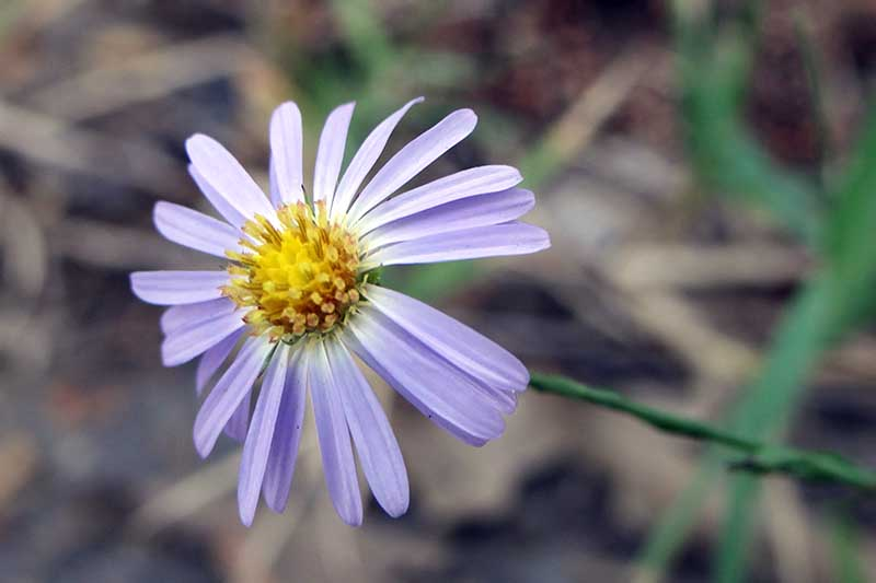 A close up of a sky blue aster flower with delicate petals and a yellow center pictured on a soft focus background.