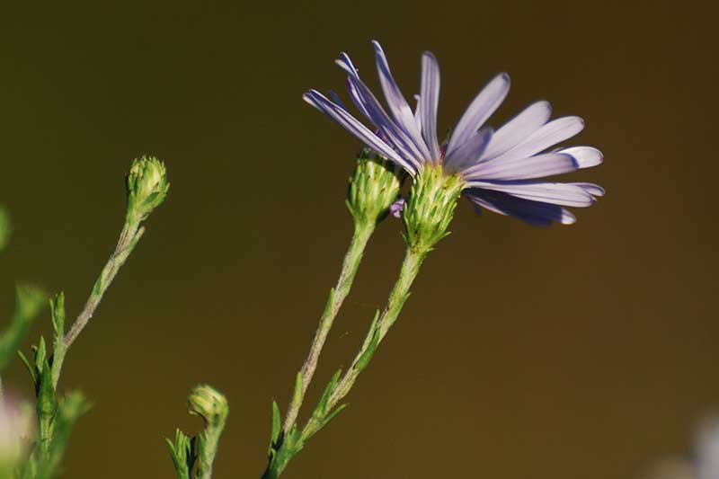 A close up of a Symphyotrichum oolentangiense flower, pictured from underneath, showing the light blue petals and green stem on a light brown soft focus background.