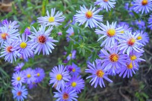 How to Grow and Care for Sky Blue Aster