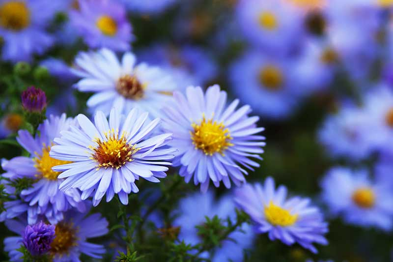 A close up of the light blue flowers of the sky blue aster with delicate blue petals and yellow centers, growing in the garden on a soft focus background.