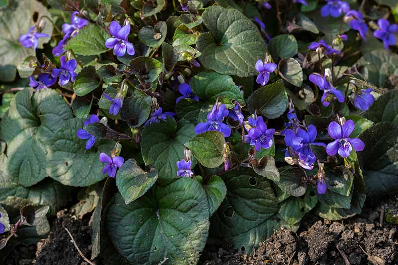 A top down close up picture of tiny blue native violets with large flat foliage growing in the garden in light filtered sunshine.