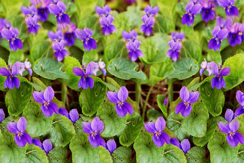 A close up of tiny purple violets growing in the garden surrounded by green foliage fading to soft focus in the background.