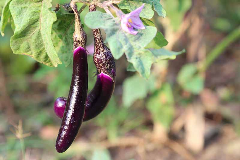 A close up of two tiny, dark purple, glossy eggplant fruits hanging from the branch of a plant growing in the garden, on a soft focus background.