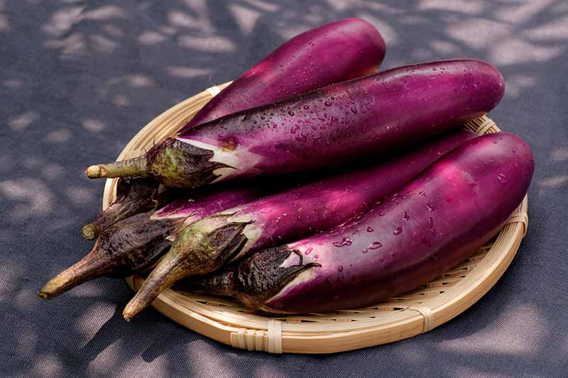 A close up of small, freshly harvested and washed purple eggplants set on a wicker tray on a gray background, pictured in filtered sunshine.