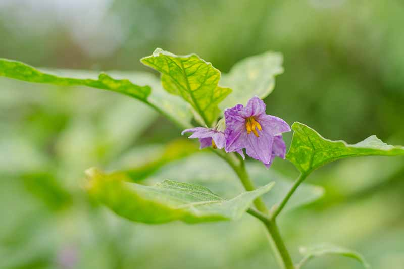 A close up of a small purple flower on a green stem surrounded by foliage on a soft focus green background.