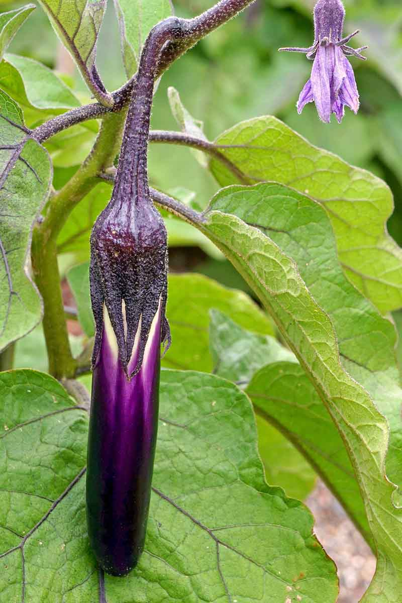 A close up vertical picture of a small purple eggplant fruit hanging from the branch surrounded by light green foliage and a purple flower to the top right of the frame.