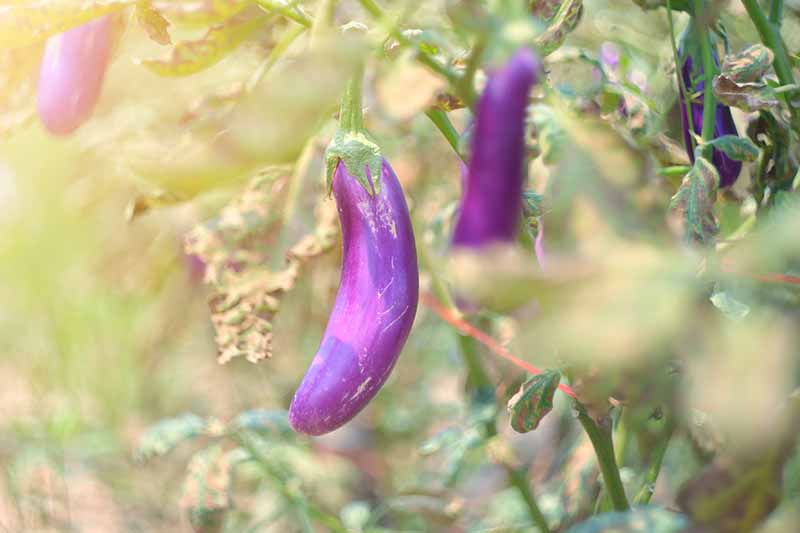 A close up, soft focus picture of small purple eggplants growing in the garden.
