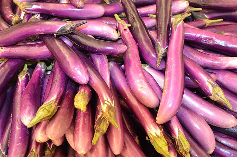 A close up of a large number of small purple eggplant fruits in light sunshine.