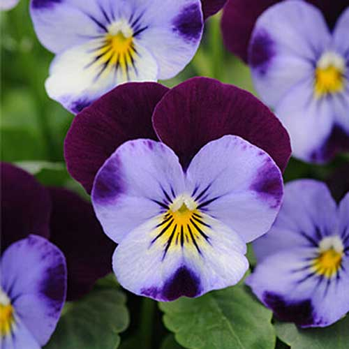 A close up of the purple and light blue bicolored 'Sorbet Denim Jump Up' pansy growing in the garden with foliage in soft focus in the background.