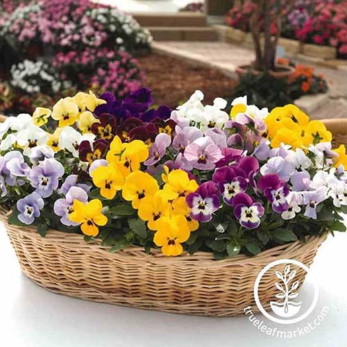 A small wicker basket with various colored pansies set on a white surface with a garden scene in the background. To the bottom right of the frame is a circular logo and white text.