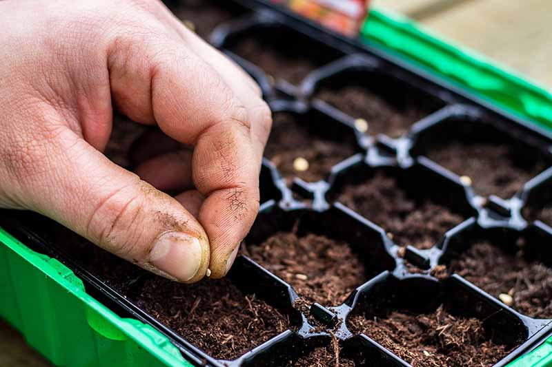 A close up of a hand from the left of the frame sowing tiny seeds into a small black plastic seedling tray, fading to soft focus in the background.