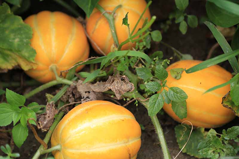 A close up of bright orange squash ripening on the vine in the garden, fading to soft focus in the background.