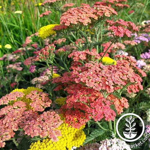 A close up of a variety of different colored Achillea millefolium flowers growing in the garden in light sunshine. To the bottom right of the frame is a white circular logo and text.