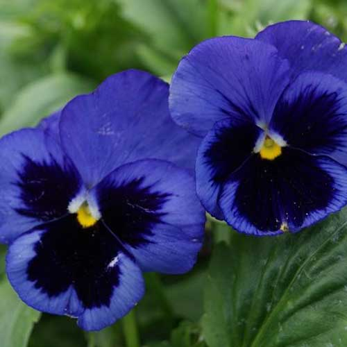 A close up of the Swiss Giants 'Ullswater' viola with its blue and black petals and green foliage in soft focus in the background.