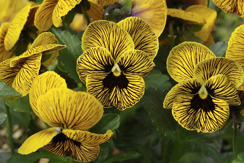 A close up of the 'Tiger Eye' pansy variety with yellow flowers and dark stripes with foliage in soft focus in the background.