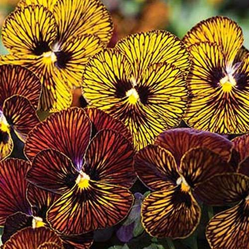 A close up of the 'Tiger Eye' pansy with bright yellow striped petals growing in the garden.
