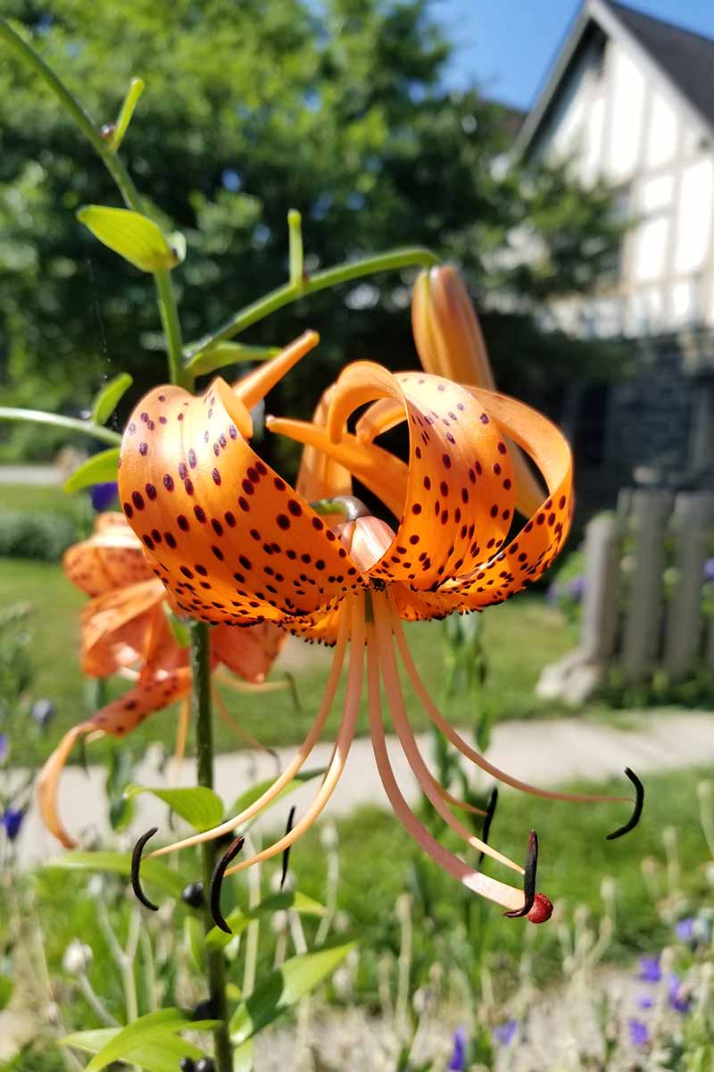 A vertical picture of an orange tiger lily flower with dark spots growing in the garden on a soft focus background.