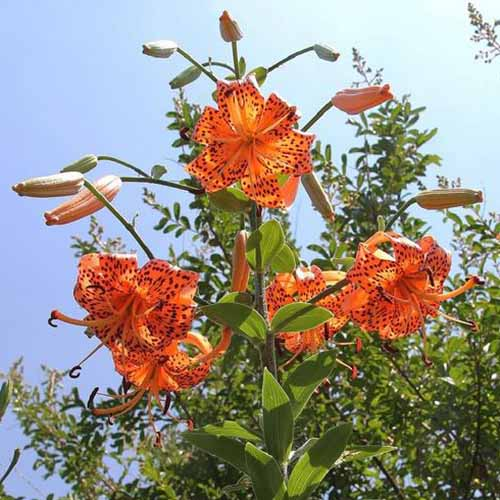 A large tiger lily plant growing in the garden with large orange flowers flecked with dark spots, in bright sunshine with trees and blue sky in the background.