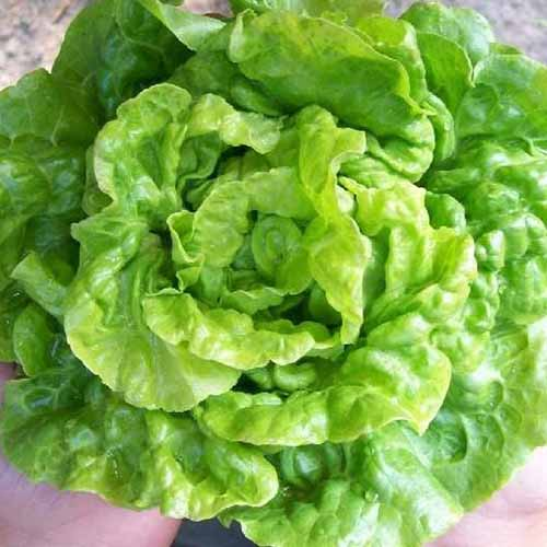 A close up top down picture of the 'Tom Thumb' lettuce variety with light green ruffled leaves, in bright sunshine on a soft focus background.