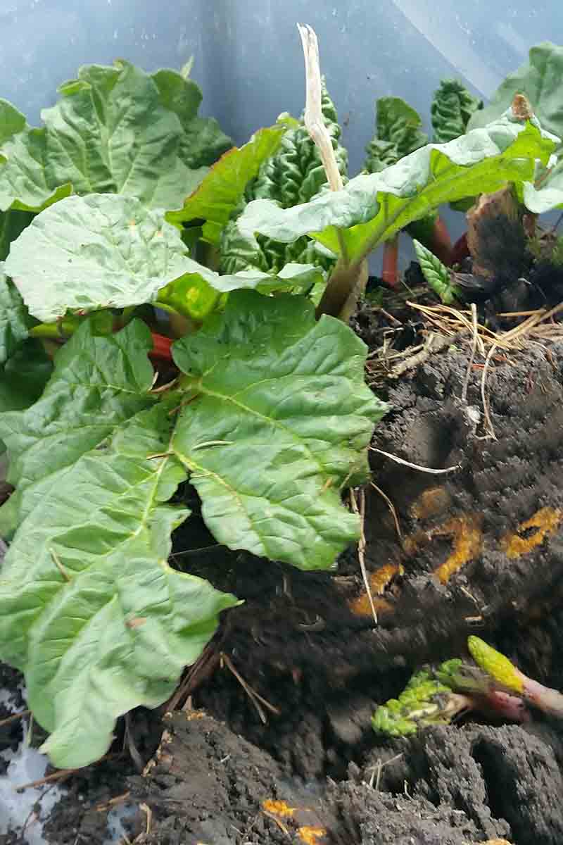 A close up vertical picture of a rhubarb plant being transplanted into the garden, after division.