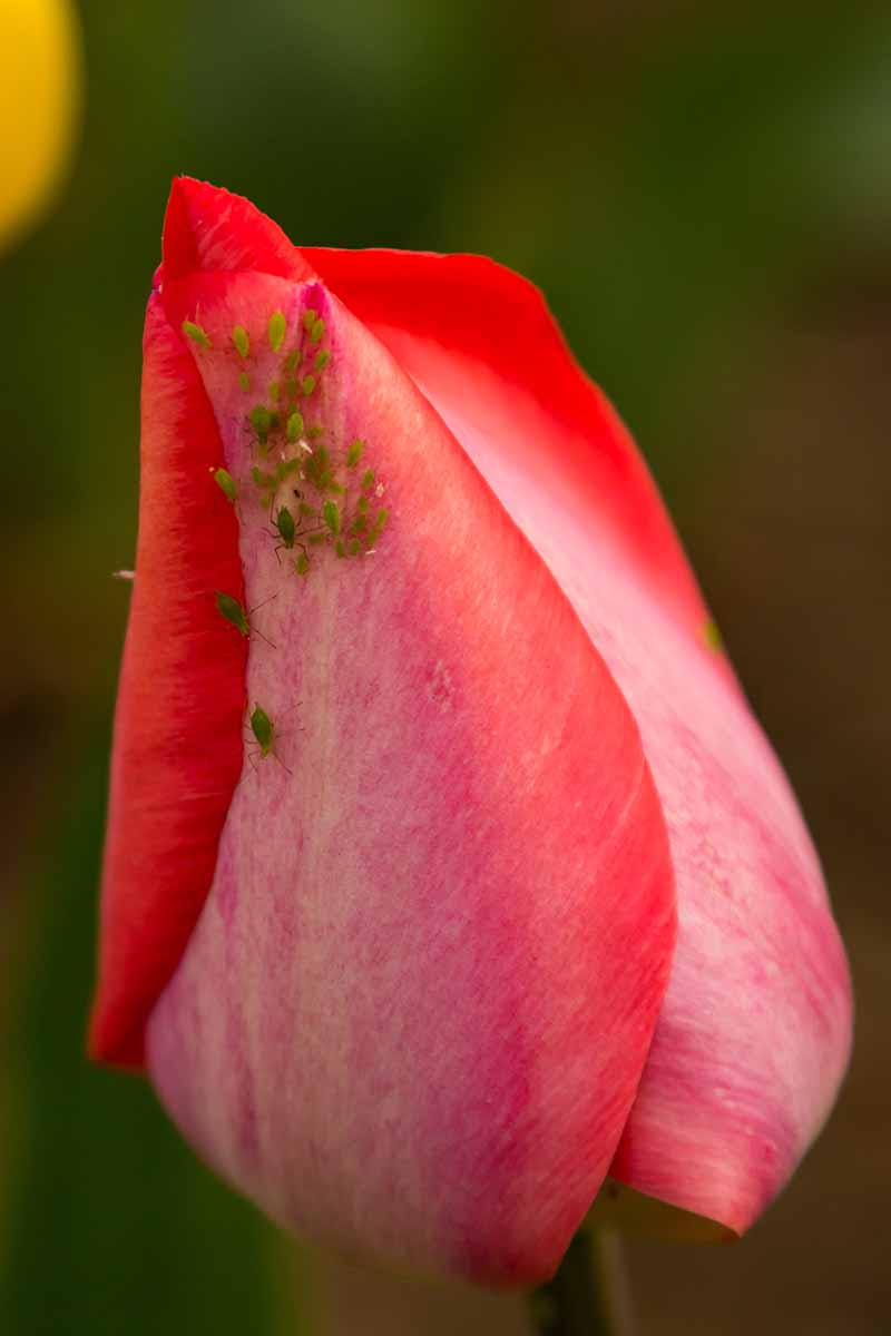 A vertical close up picture of a red flower shown infested by tiny aphids, on a dark soft focus background.