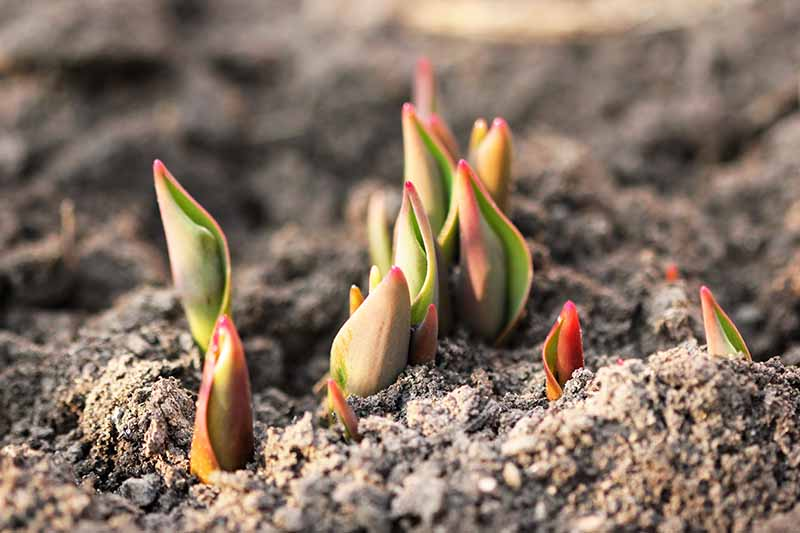 A close up of the new shoots of tulip bulbs pushing through the soil in springtime, pictured in bright sunshine with soil in soft focus in the background.