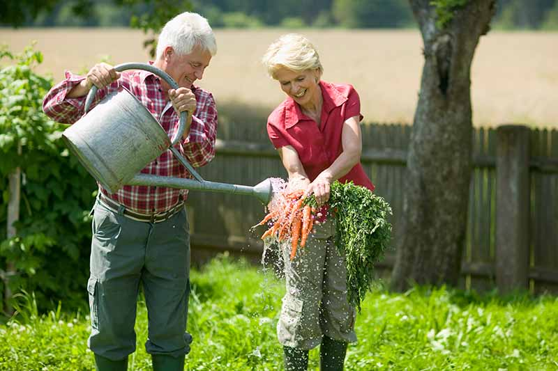 A man and a woman holding freshly harvested carrots and washing them with a metal watering can, pictured in bright sunshine with a wooden fence in the background.