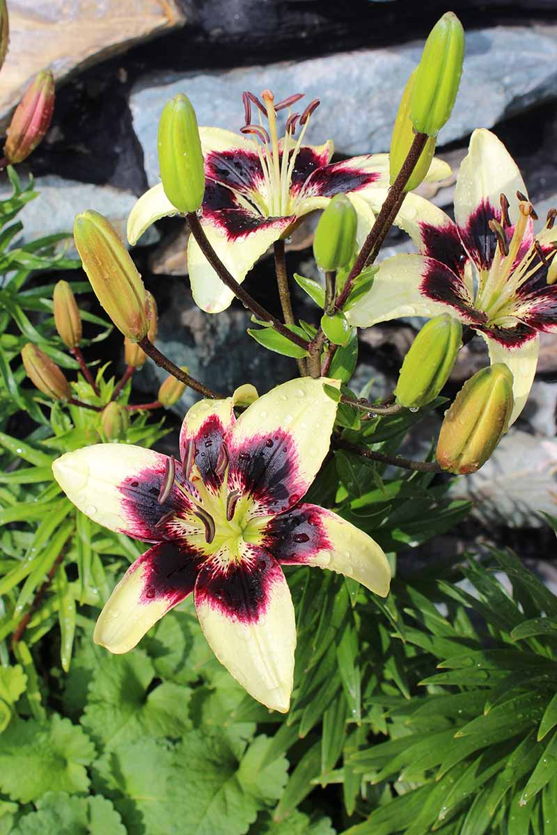 A vertical picture of bicolored lily flowers with greenish yellow petals and a dark red center, surrounded by foliage, with rocks in soft focus in the background.