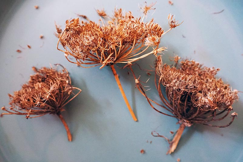 A close up of three dried seedheads from a carrot plant set on a white surface ready for seed removal.