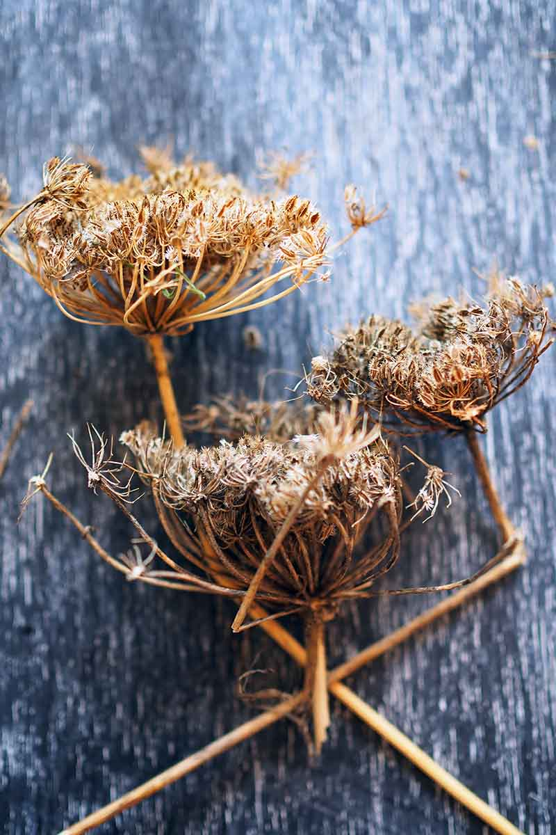 A vertical close up picture of dried seedheads harvested from carrot plants in their second year of growth, in order to save the seeds, set on a dark rustic wooden surface.