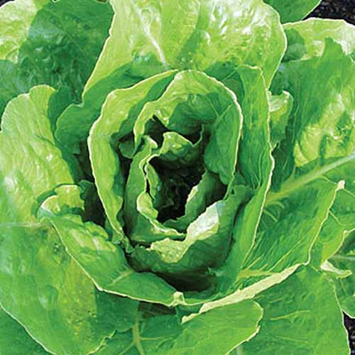 A top down close up picture of the 'Vivian' lettuce variety growing in the garden with large flat green leaves and a dense center.
