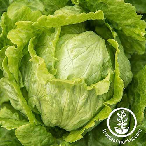 A close up of 'Webbs Wonderful,' a butterhead lettuce variety with light green, ruffled outer leaves and round center. To the bottom right of the frame is a white circular logo with text.