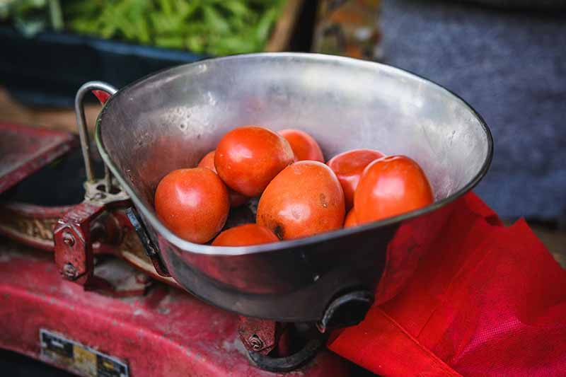 A close up of an old fashioned metal weighing machine with tomatoes in the bowl on a soft focus background.
