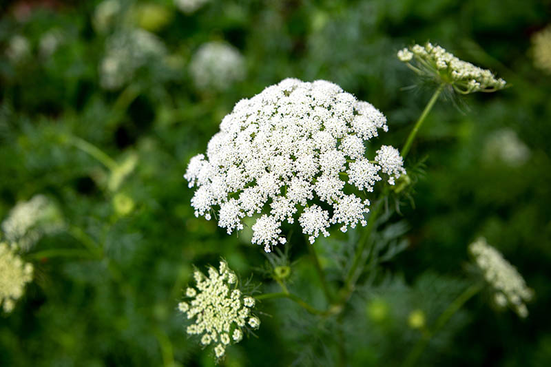 A close up of a white carrot flowerhead, a large umbel with tiny blooms on each stem pictured on a soft focus background.