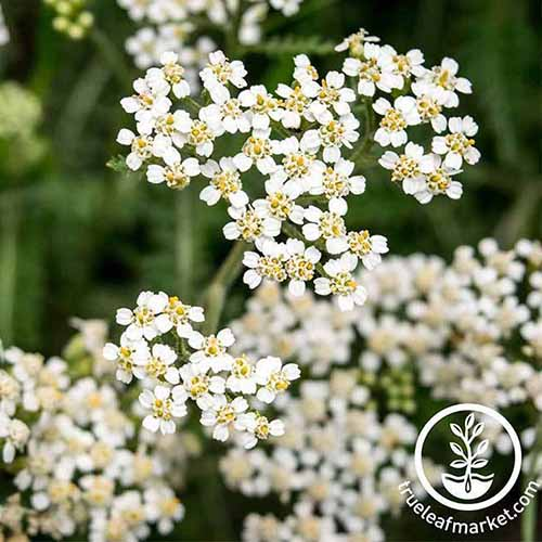 A close up of the white flowers of Achillea millefolium growing in the garden. To the bottom right of the frame is a white circular logo and text.
