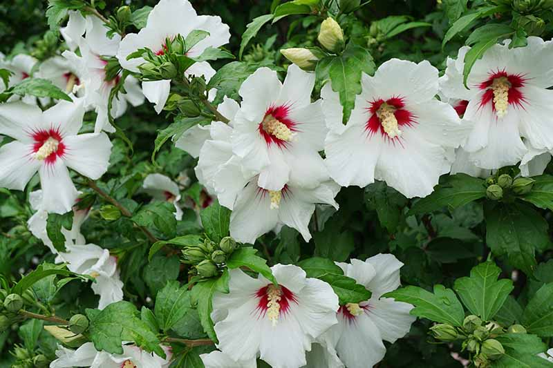 A close up of a hibiscus shrub growing in the garden with light green foliage and an abundance of white flowers with deep red central eyes.