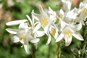 27 of the Best Lily Varieties and a Guide to the Different Types