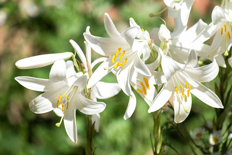 27 Of The Best Lily Varieties Gardener S Path