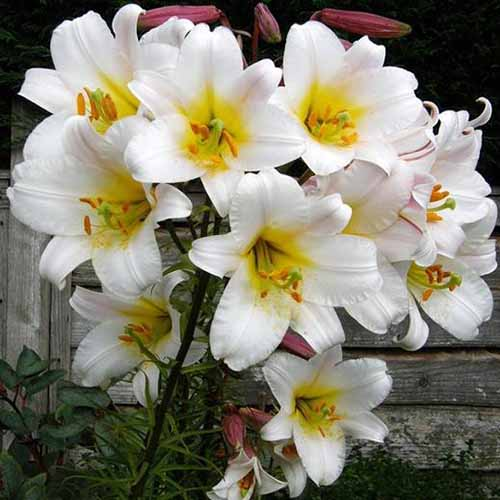 A close up of the white flowers with yellow center of the 'White Planet' variety of lily, pictured against a wooden fence.