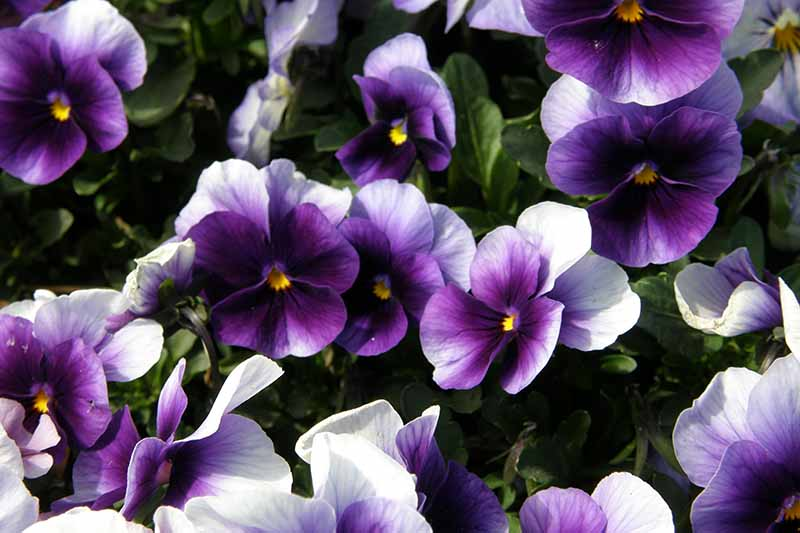 A close up of white and purple pansies growing in the garden in bright sunshine on a soft focus background.