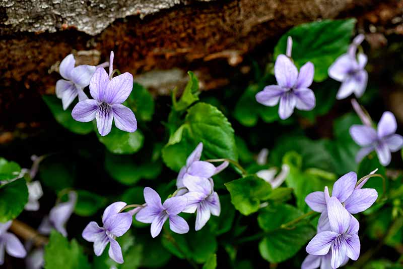 A close up of small light purple violets growing in the wild by a rock, with foliage in soft focus in the background.
